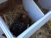 Oprah in her nesting box